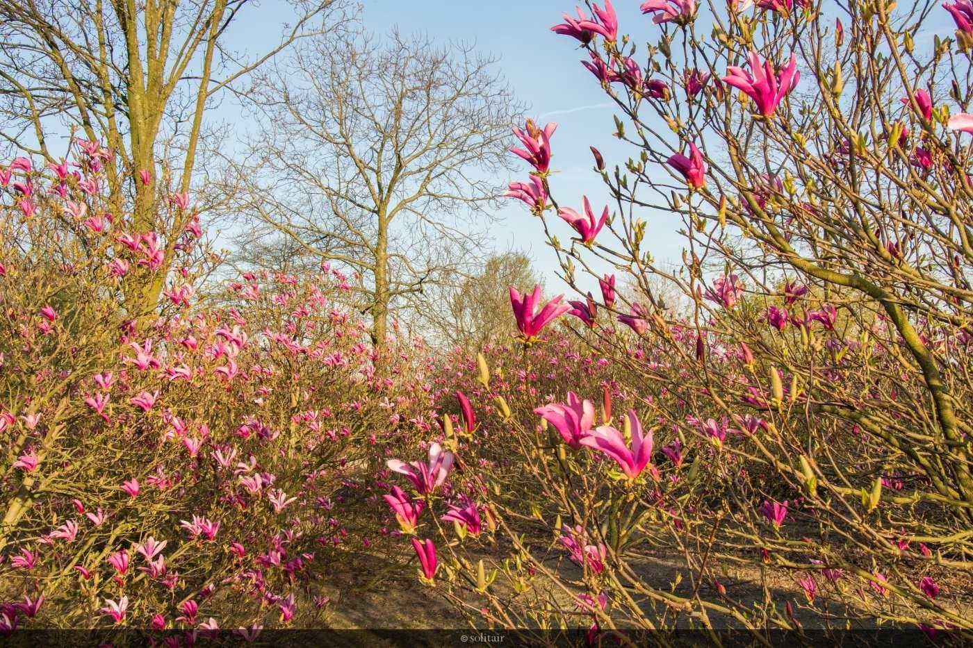 Magnolia 'Susan' bush