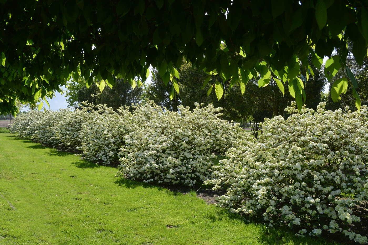 (nl) Viburnum plicatum 'Rotundifolium'