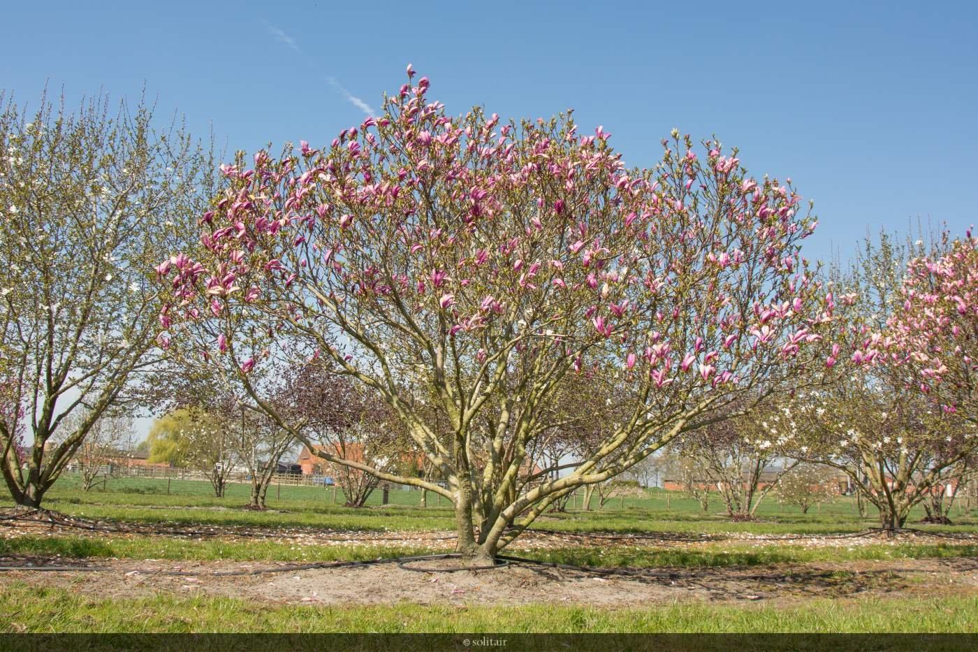 Magnolia 'Susan' multistemmed bush