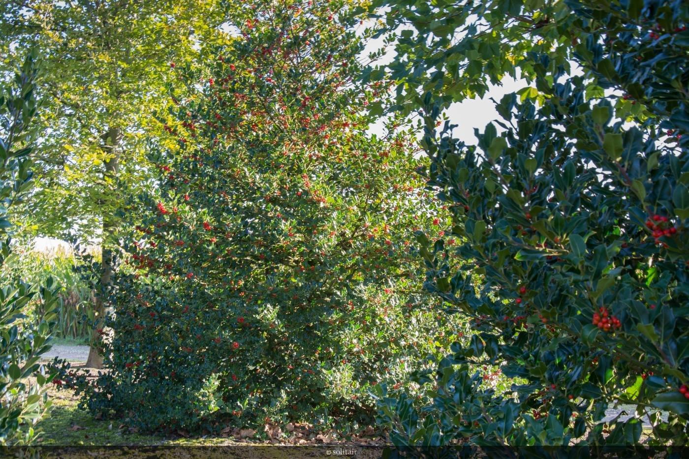 Ilex aquifolium struik