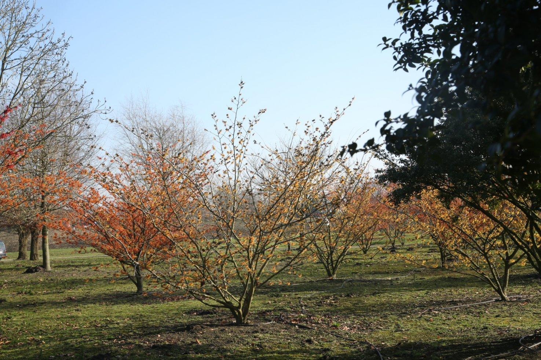 Hamamelis intermedia 'Orange Beauty' solitair