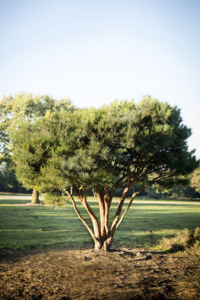 Pinus densiflora 'Umbraculifera' meerstam