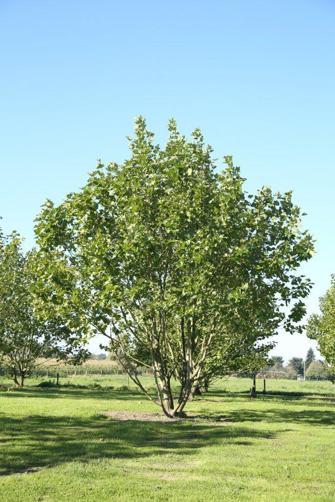 Platanus x acerifolia meerstam
