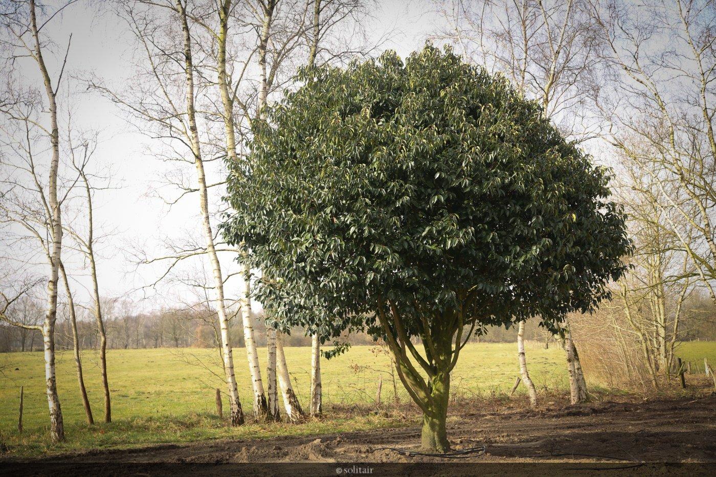 Prunus lusitanica meerstam