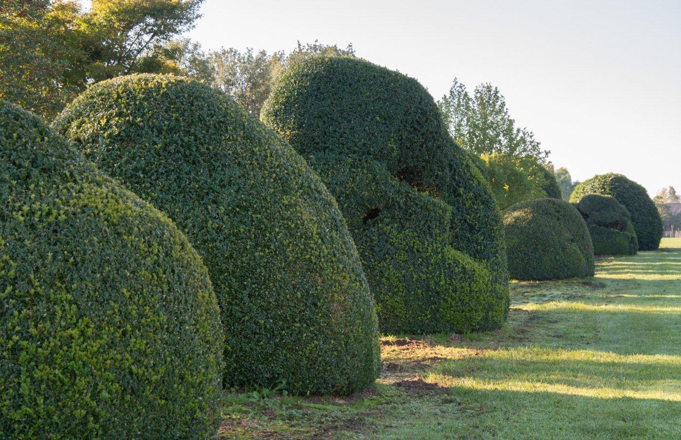 Buxus sempervirens organische vorm