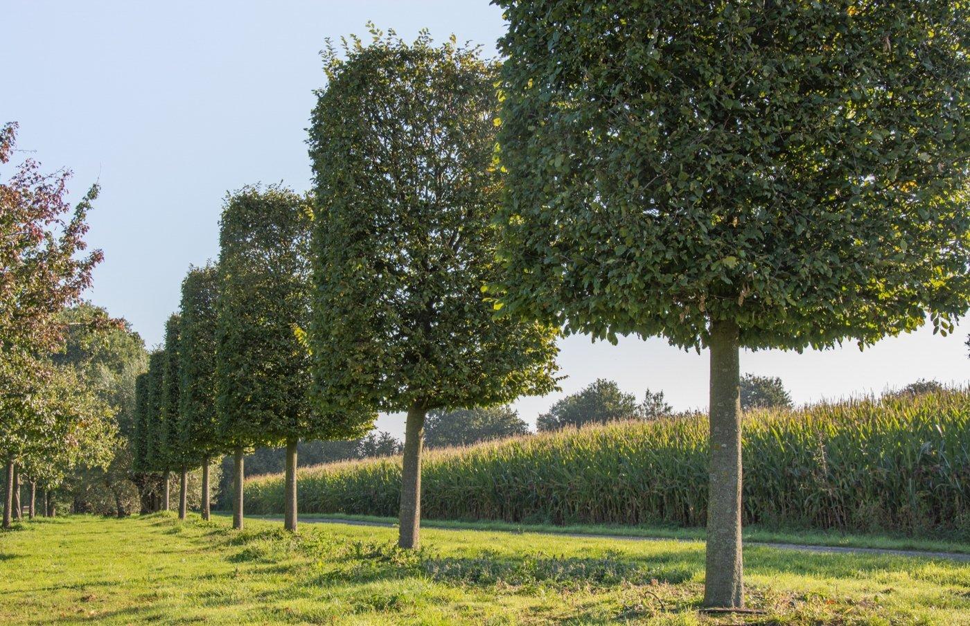 Carpinus betulus blok op stam