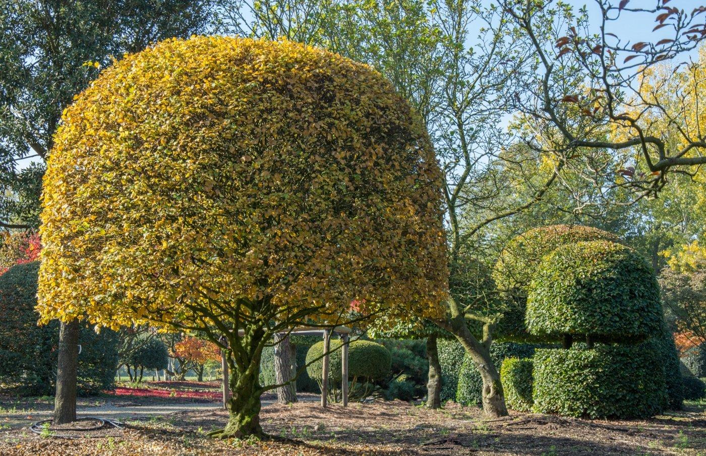 Carpinus betulus bol op stam