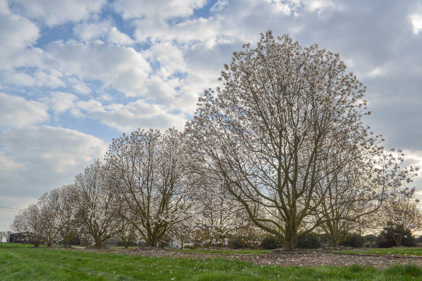 Magnolia loebneri 'Merrill'