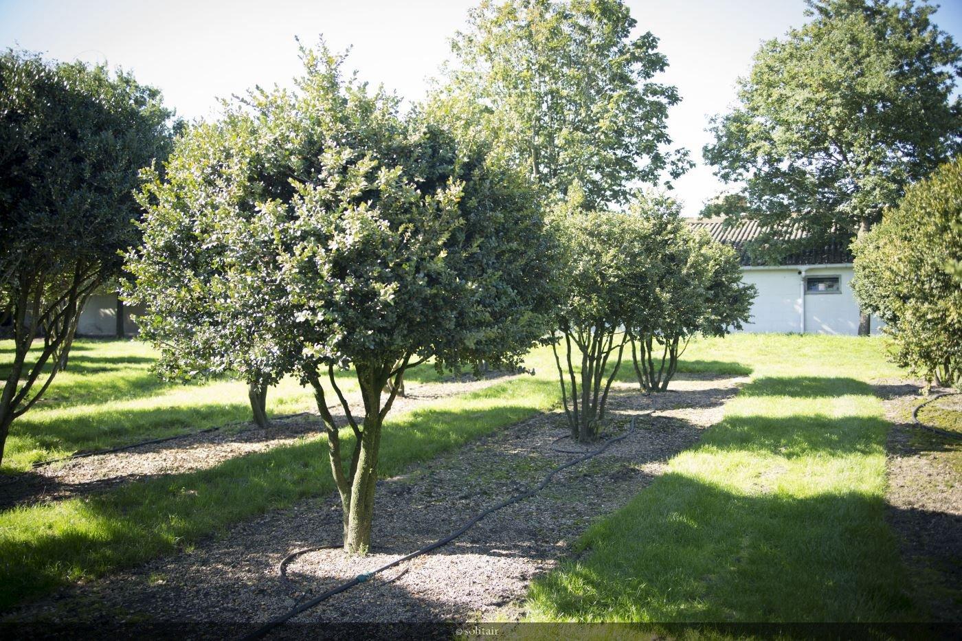 Buxus sempervirens 'Rotundifolia' meerstam