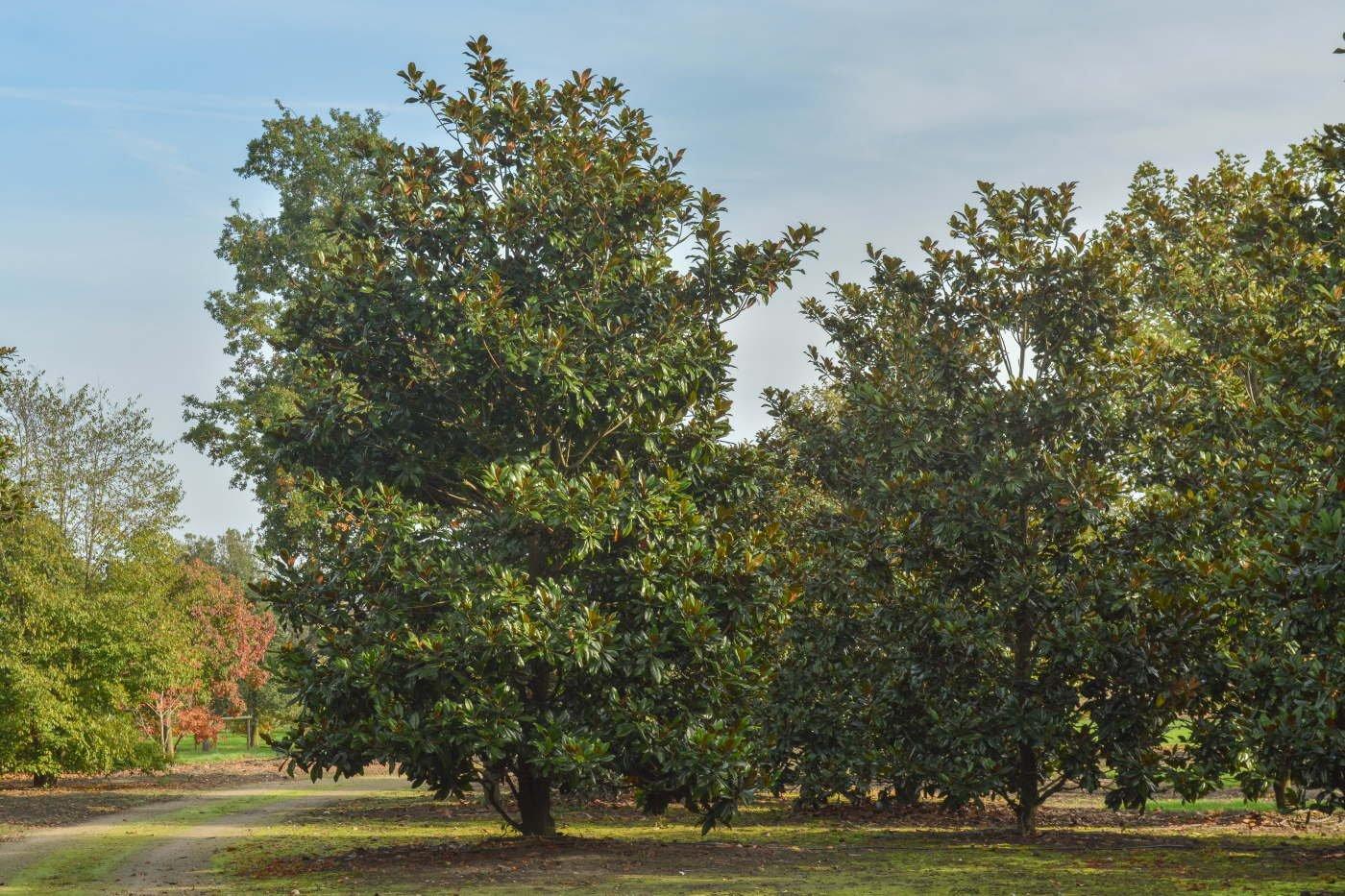 Magnolia grandiflora 'Gallisoniensis'