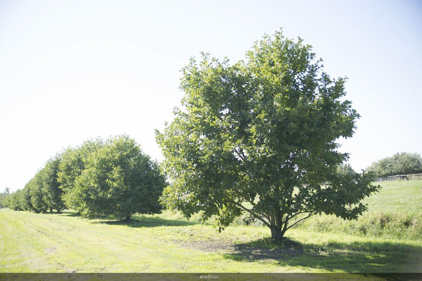 Magnolia loebneri 'Merrill' solitair