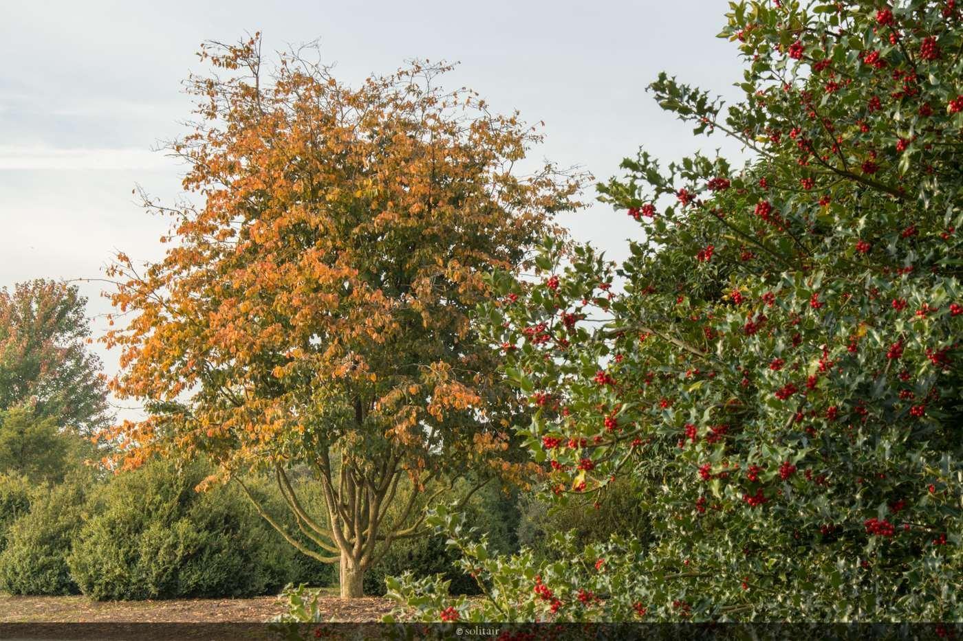 Parrotia persica meerstam