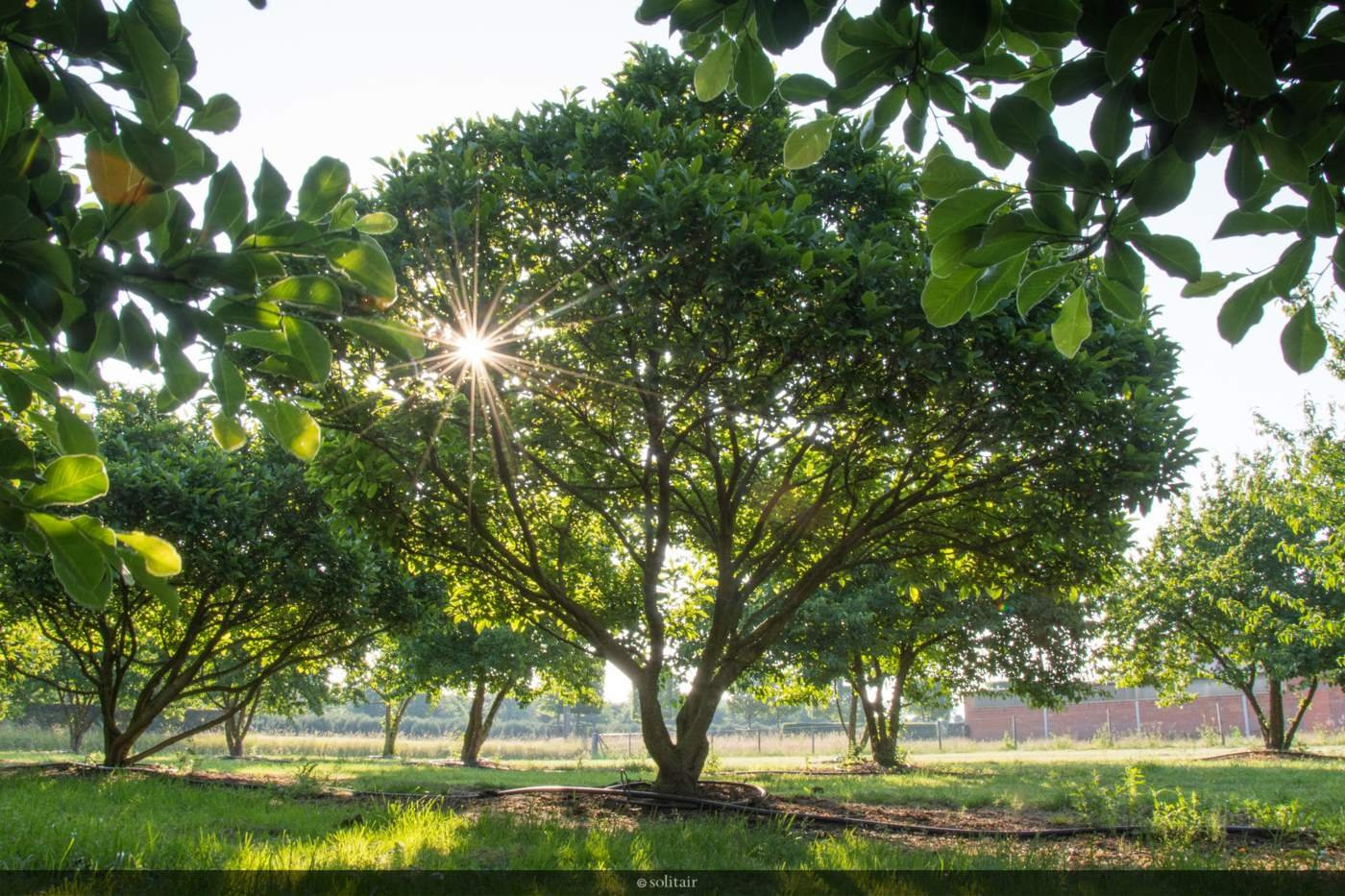 Magnolia 'Susan' meerstam