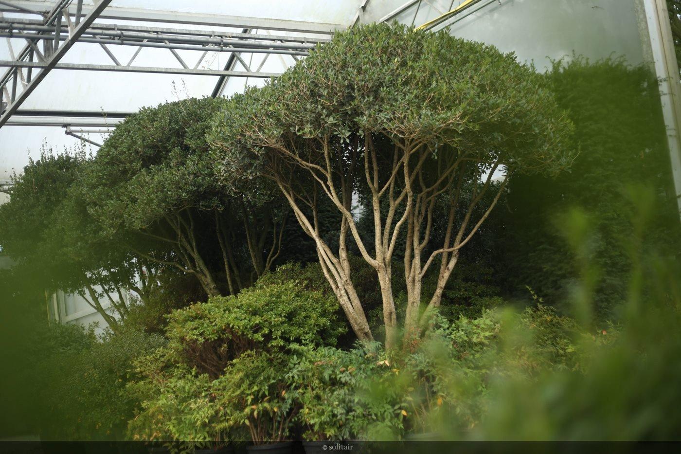 Osmanthus heterophyllus meerstam
