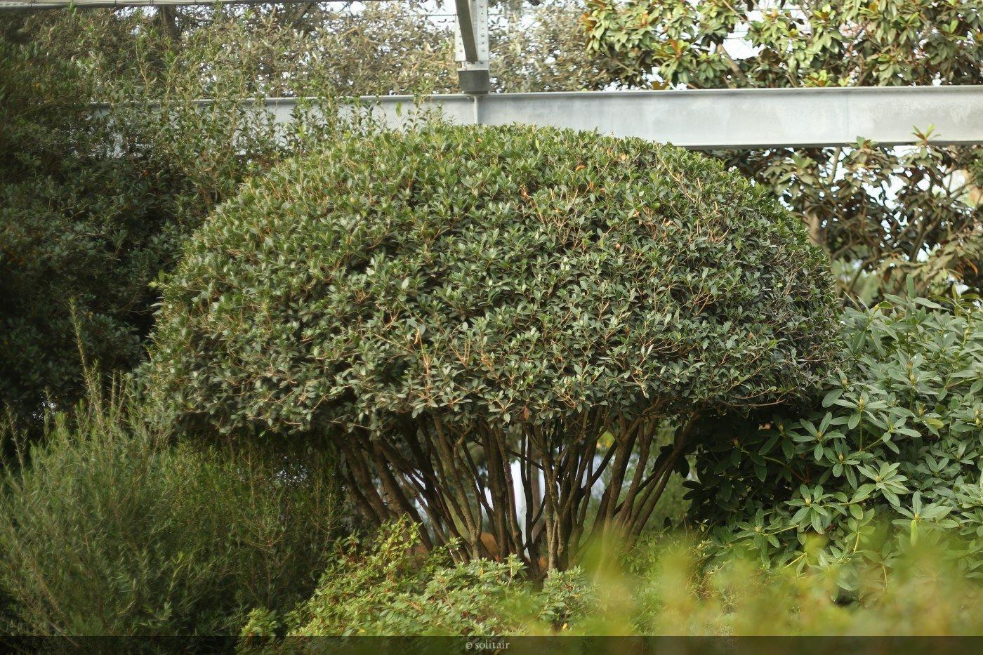 Osmanthus heterophyllus parasol