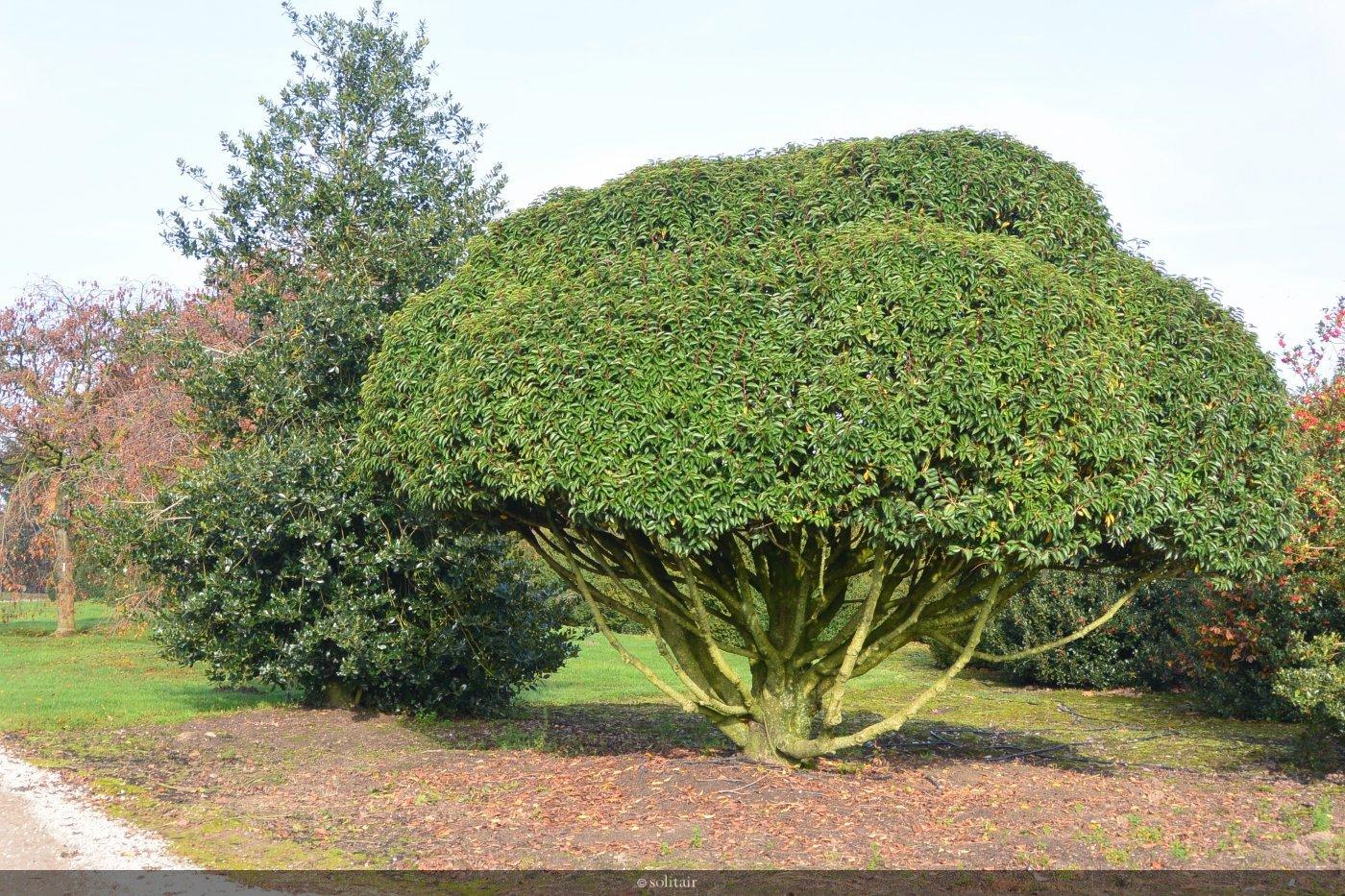 Prunus lusitanica 'Angustifolia' meerstam met organisch gesnoeide kruin