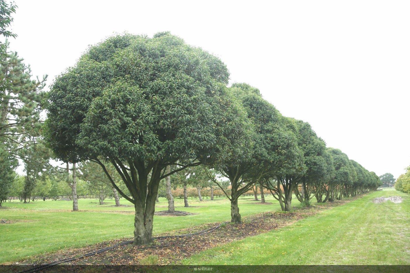 Prunus lusitanica 'Angustifolia' meerstam organisch gesnoeid