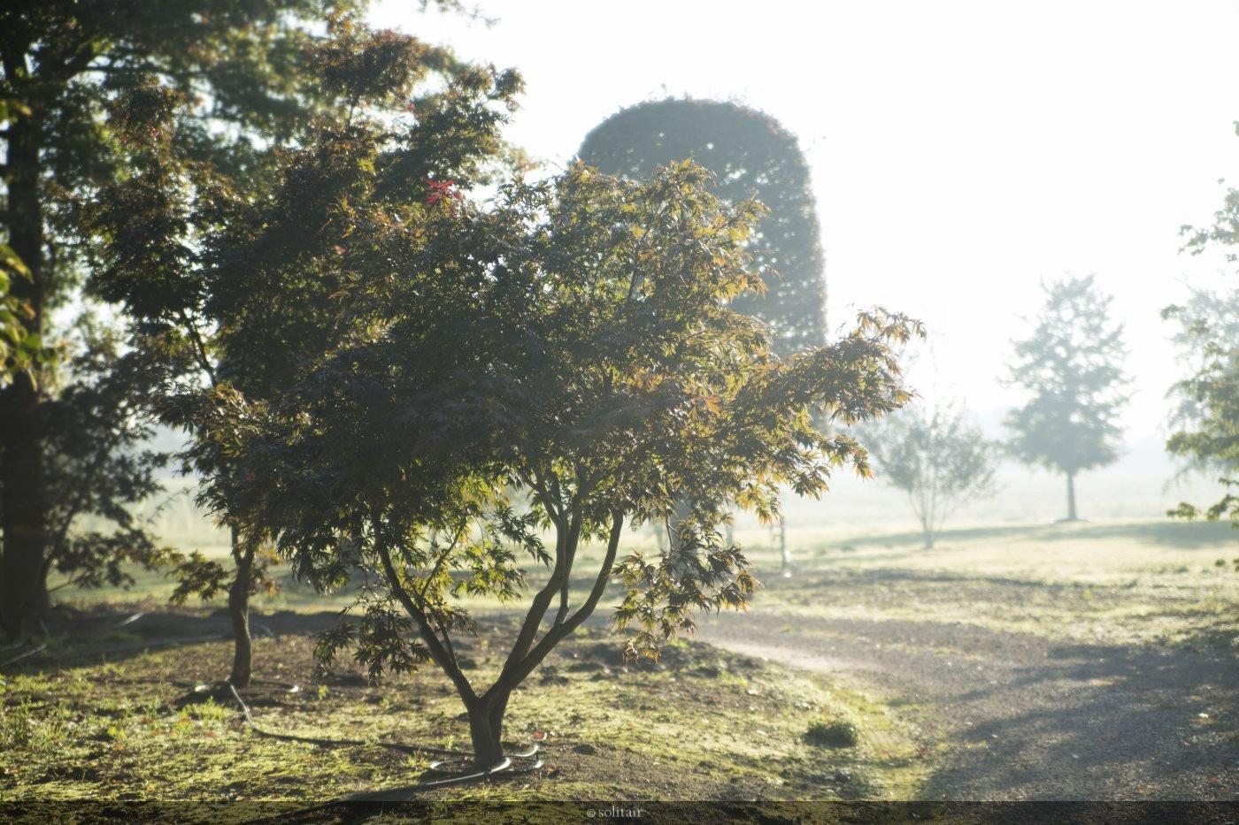 Acer polymorphum meerstam
