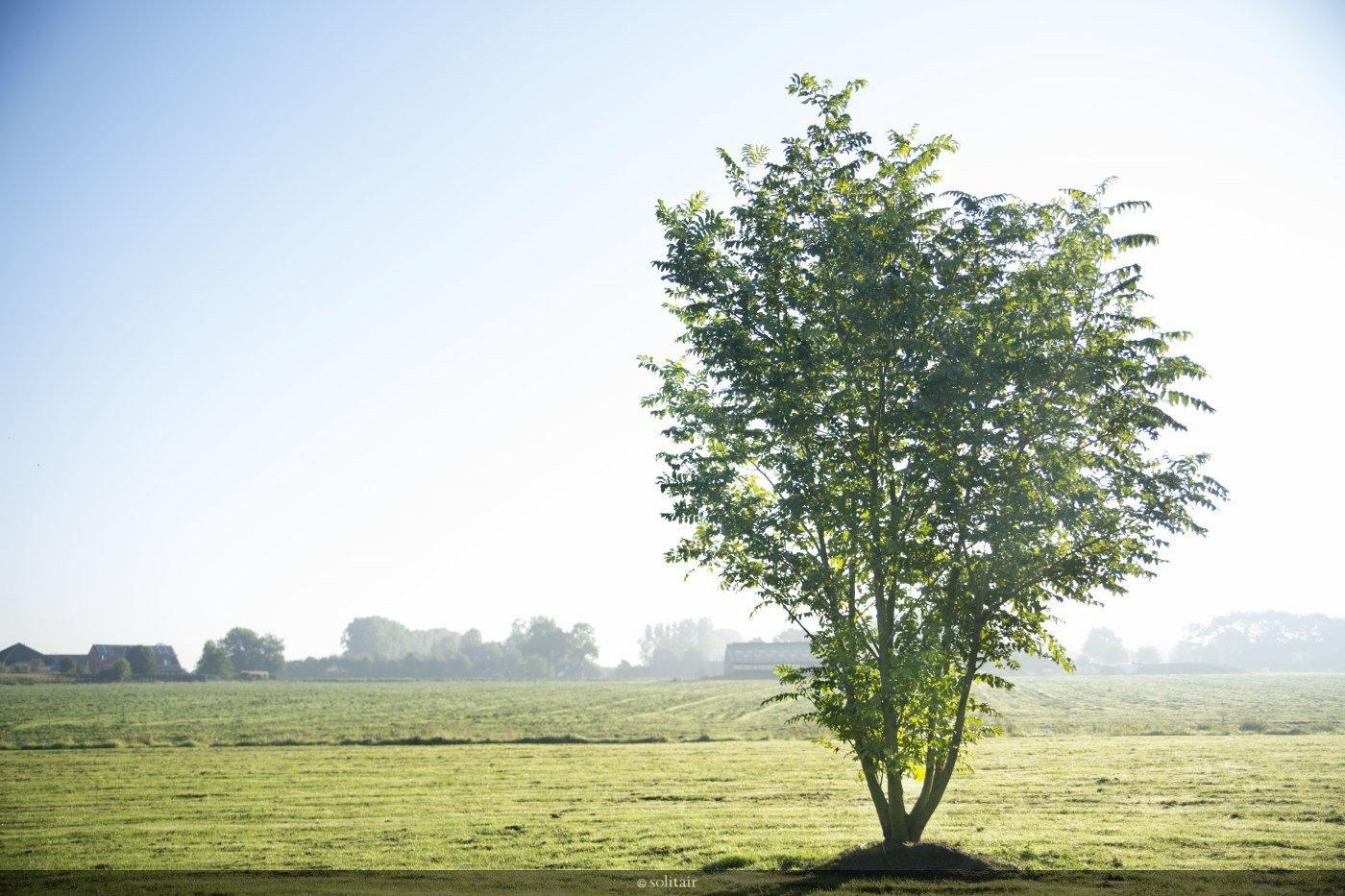 Pterocarya fraxinifolia meerstam