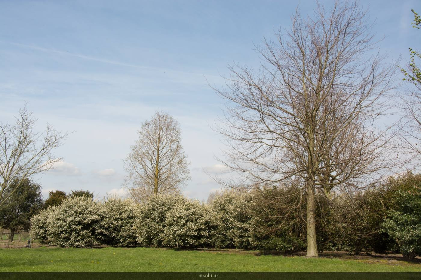 Osmanthus x burkwoodii struik