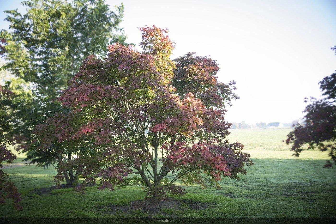 Acer palmatum 'Kogane Nishiki' meerstam